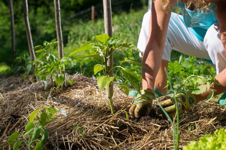 végétaux paillage